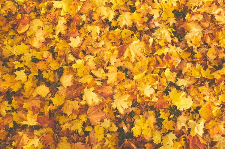 yellow dry maple